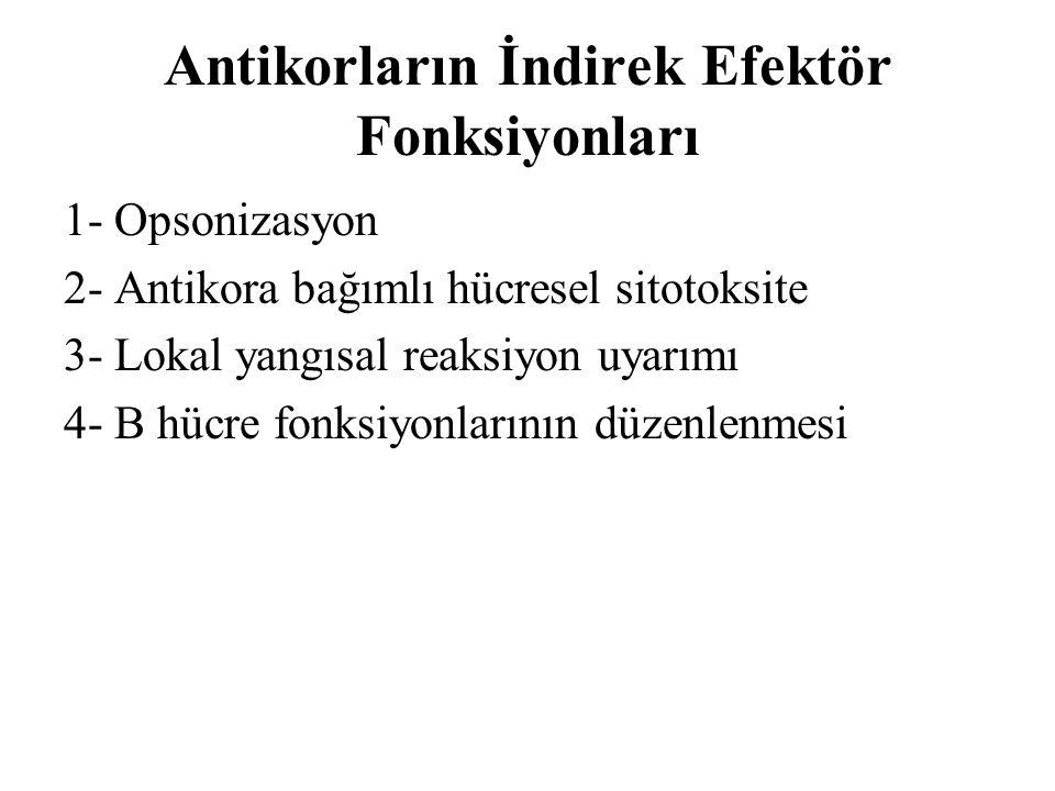 Antikorların İndirek Efektör Fonksiyonları 1- Opsonizasyon 2- Antikora bağımlı hücresel sitotoksite 3- Lokal yangısal reaksiyon uyarımı 4- B hücre fon