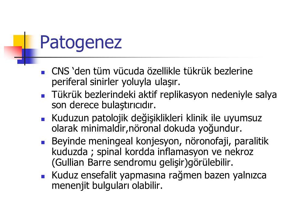 Patogenez CNS 'den tüm vücuda özellikle tükrük bezlerine periferal sinirler yoluyla ulaşır. Tükrük bezlerindeki aktif replikasyon nedeniyle salya son