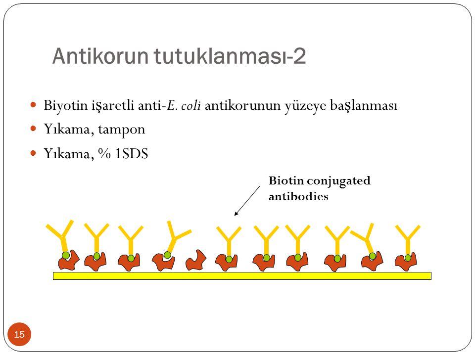 Antikorun tutuklanması-2 Biyotin i ş aretli anti-E. coli antikorunun yüzeye ba ş lanması Yıkama, tampon Yıkama, % 1SDS Biotin conjugated antibodies 15