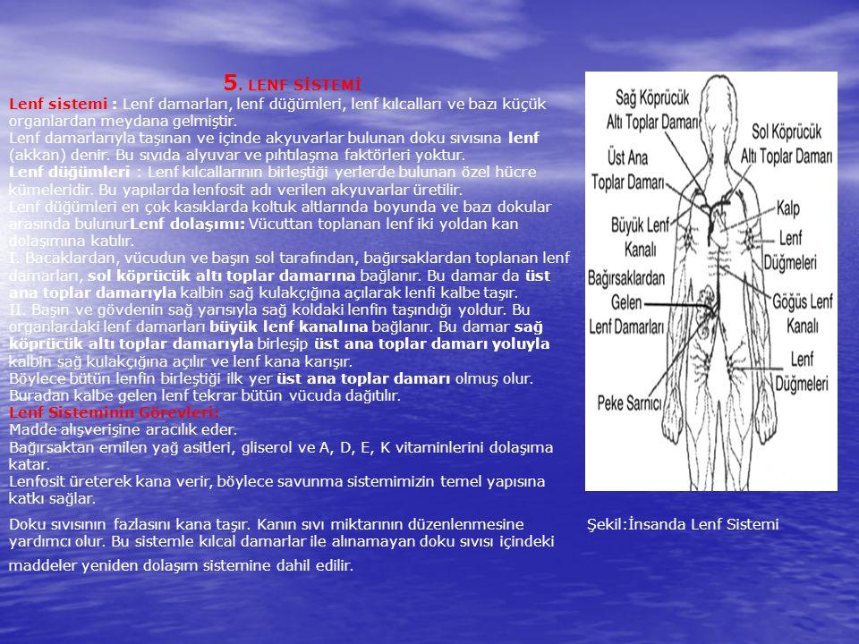 5. LENF SİSTEMİ Lenf sistemi : Lenf damarları, lenf düğümleri, lenf kılcalları ve bazı küçük organlardan meydana gelmiştir. Lenf damarlarıyla taşınan