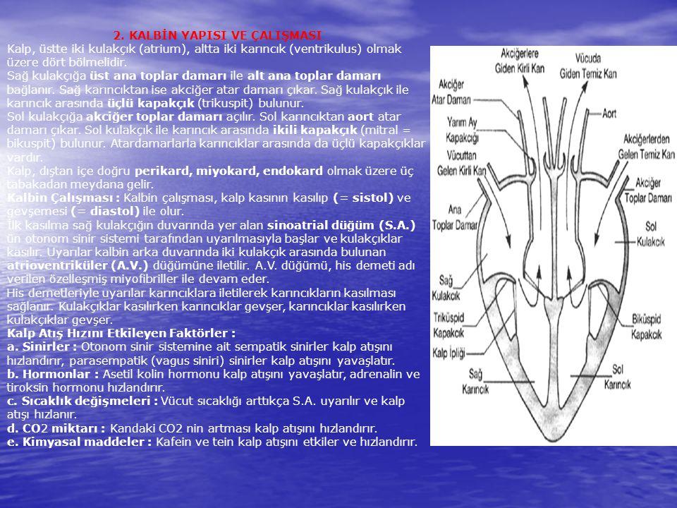 2. KALBİN YAPISI VE ÇALIŞMASI Kalp, üstte iki kulakçık (atrium), altta iki karıncık (ventrikulus) olmak üzere dört bölmelidir. Sağ kulakçığa üst ana t