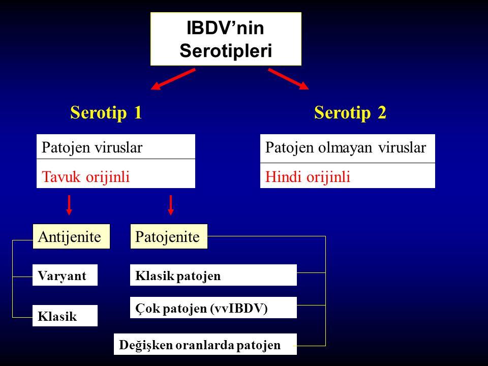 IBDV'nin Serotipleri Serotip 1Serotip 2 Patojen viruslar Tavuk orijinli Patojen olmayan viruslar Hindi orijinli Klasik Varyant AntijenitePatojenite Kl
