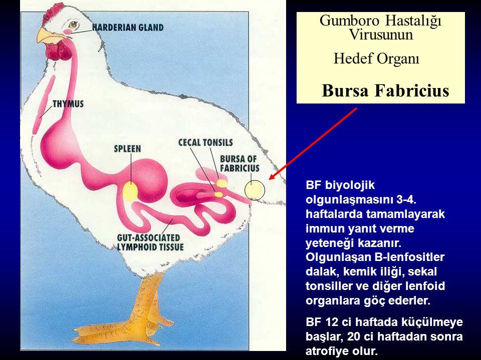 Gumboro Hastalığı Virusunun Hedef Organı Bursa Fabricius BF biyolojik olgunlaşmasını 3-4. haftalarda tamamlayarak immun yanıt verme yeteneği kazanır.