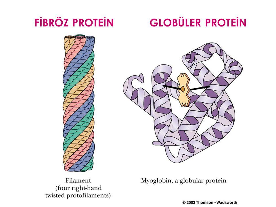 PROTEİNLER Primer yapı- amino asid sekansı (peptid bağ) Sekonder yapı- kıvrımlar (  heliks,  kırmalı, random) Tersiyer yapı- 3 boyutlu görünüm (fibr