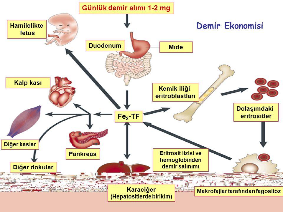 Günlük demir alımı 1-2 mg Mide Diğer dokular Diğer kaslar Pankreas Karaciğer (Hepatositlerde birikim) Kalp kası Hamilelikte fetus Duodenum Fe 2 -TF Makrofajlar tarafından fagositoz Kemik iliği eritroblastları Dolaşımdaki eritrositler Eritrosit lizisi ve hemoglobinden demir salınımı Demir Ekonomisi