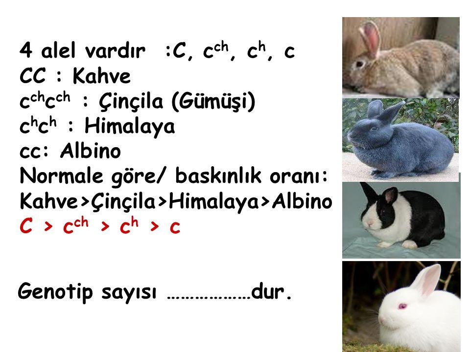 Genotip sayısı ………………dur. 4 alel vardır :C, c ch, c h, c CC : Kahve c ch c ch : Çinçila (Gümüşi) c h c h : Himalaya cc: Albino Normale göre/ baskınlık