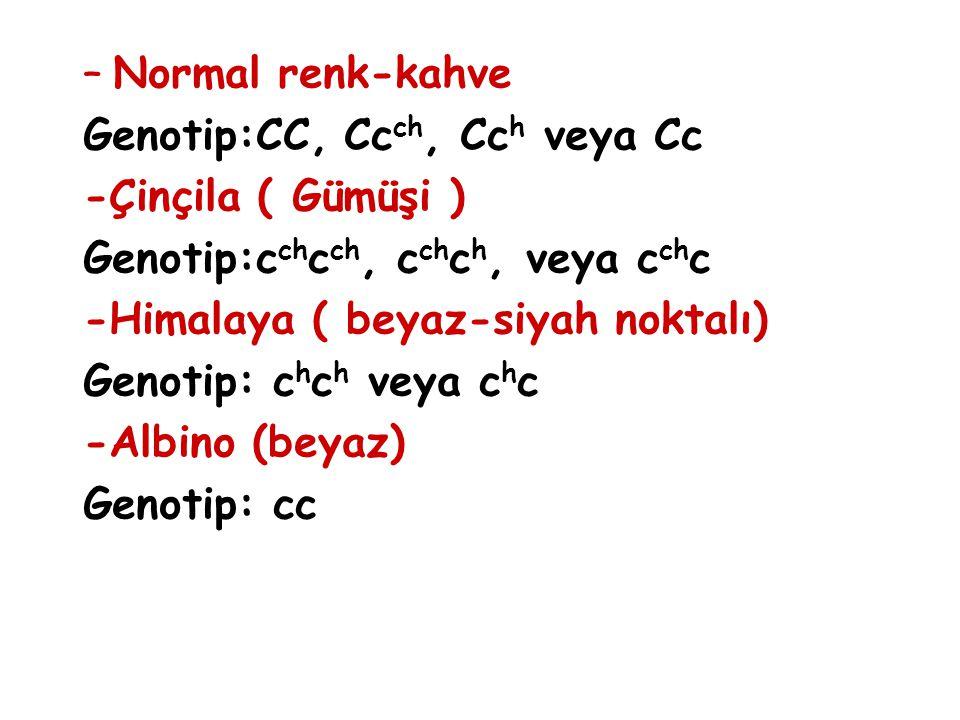 –Normal renk-kahve Genotip:CC, Cc ch, Cc h veya Cc -Çinçila ( Gümüşi ) Genotip:c ch c ch, c ch c h, veya c ch c -Himalaya ( beyaz-siyah noktalı) Genot