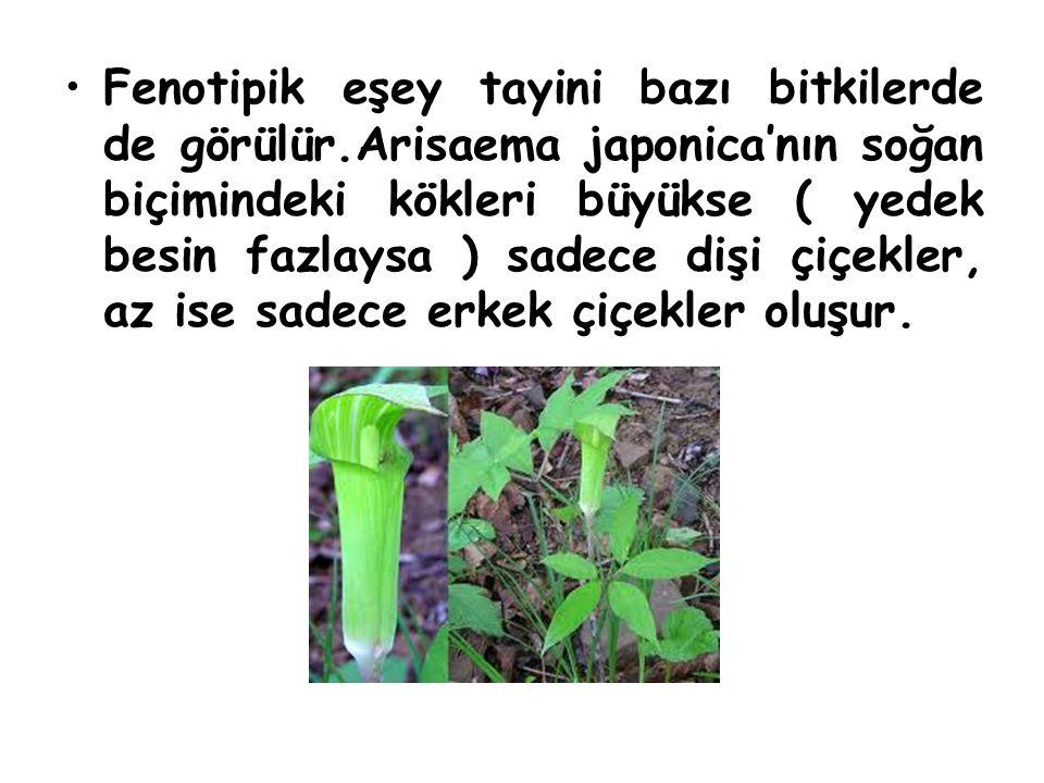 Fenotipik eşey tayini bazı bitkilerde de görülür.Arisaema japonica'nın soğan biçimindeki kökleri büyükse ( yedek besin fazlaysa ) sadece dişi çiçekler