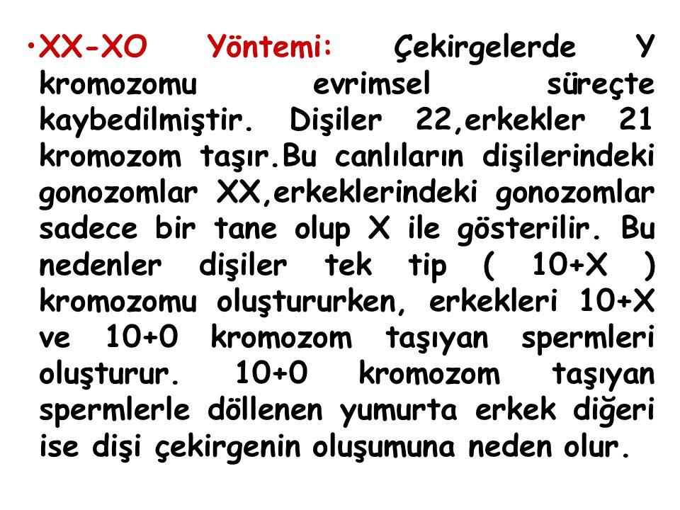 XX-XO Yöntemi: Çekirgelerde Y kromozomu evrimsel süreçte kaybedilmiştir. Dişiler 22,erkekler 21 kromozom taşır.Bu canlıların dişilerindeki gonozomlar