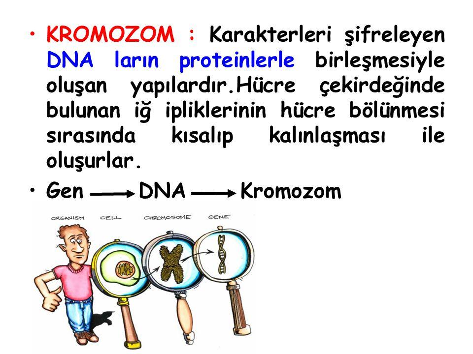 KROMOZOM : Karakterleri şifreleyen DNA ların proteinlerle birleşmesiyle oluşan yapılardır.Hücre çekirdeğinde bulunan iğ ipliklerinin hücre bölünmesi s