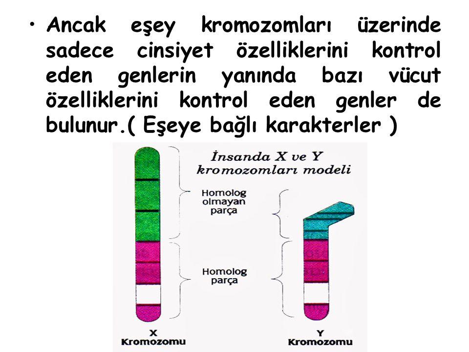 Ancak eşey kromozomları üzerinde sadece cinsiyet özelliklerini kontrol eden genlerin yanında bazı vücut özelliklerini kontrol eden genler de bulunur.(