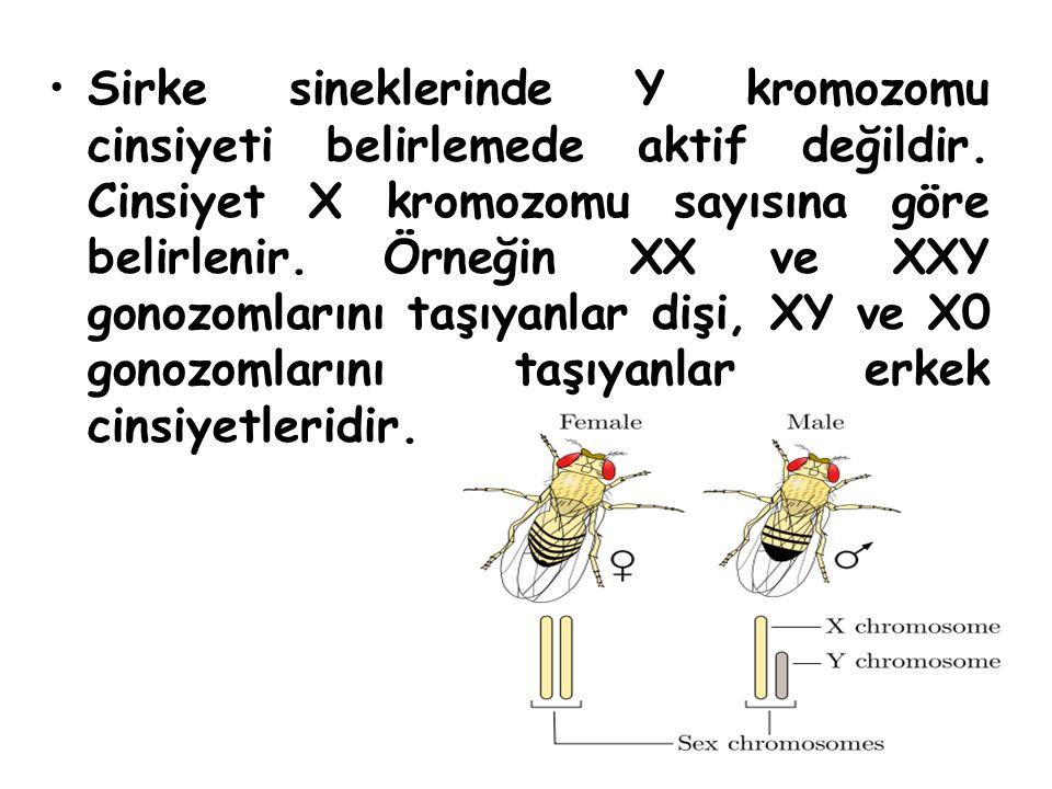 Sirke sineklerinde Y kromozomu cinsiyeti belirlemede aktif değildir. Cinsiyet X kromozomu sayısına göre belirlenir. Örneğin XX ve XXY gonozomlarını ta