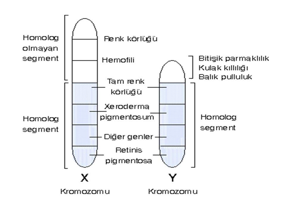 X'e Bağlı Kalıtım Bu karakterler genellikle çekinik olup hem erkek hem dişi de görülebilirler.
