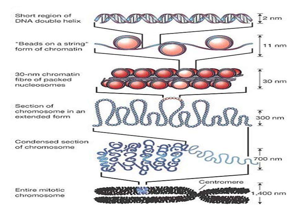 HOMOLOG KROMOZOM : Biri anneden biri babadan gelen şekil ve boy bakımından birbirine benzeyen en önemlisi karşılıklı parçalarında aynı karakter üzerine etki eden gen çifti taşıyan yapıya homolog kromozom denir.