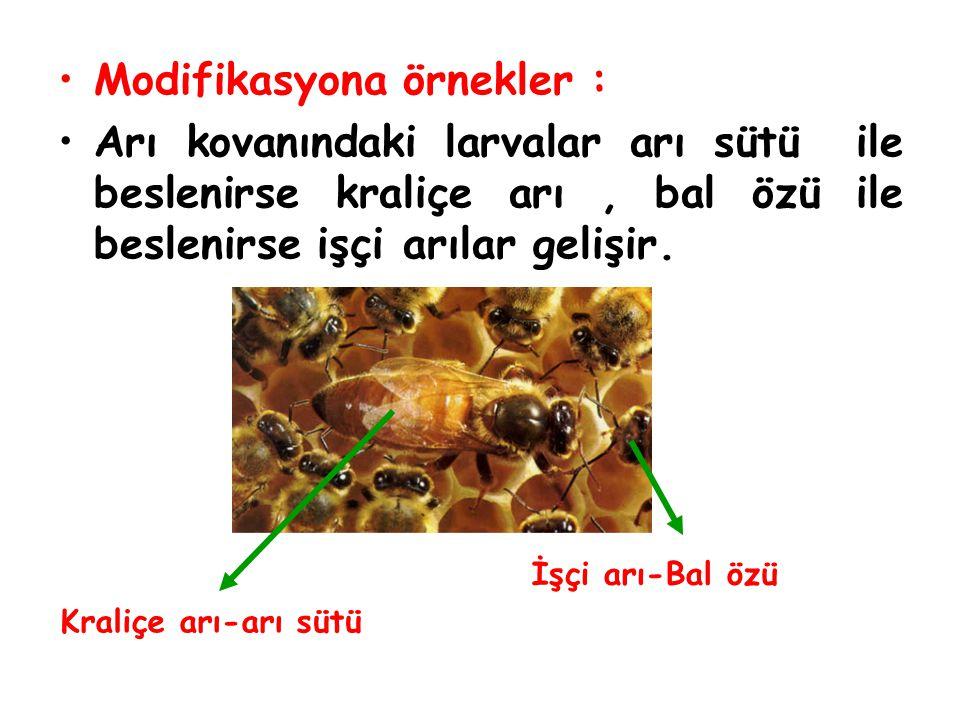 Modifikasyona örnekler : Arı kovanındaki larvalar arı sütü ile beslenirse kraliçe arı, bal özü ile beslenirse işçi arılar gelişir. Kraliçe arı-arı süt