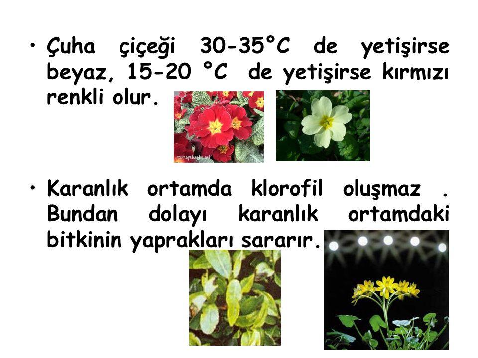 Çuha çiçeği 30-35°C de yetişirse beyaz, 15-20 °C de yetişirse kırmızı renkli olur. Karanlık ortamda klorofil oluşmaz. Bundan dolayı karanlık ortamdaki