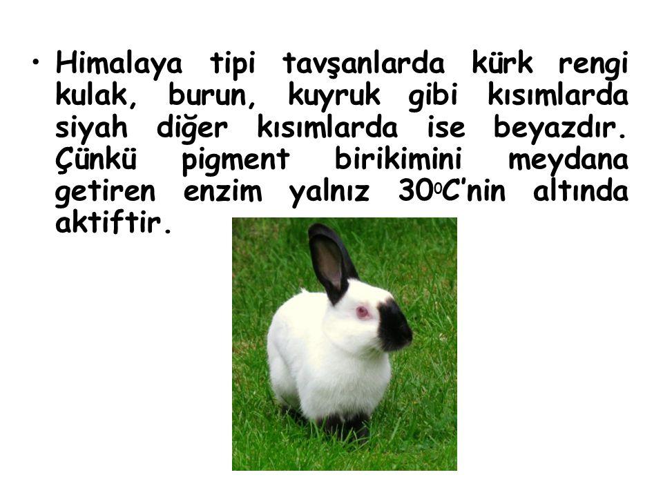 Himalaya tipi tavşanlarda kürk rengi kulak, burun, kuyruk gibi kısımlarda siyah diğer kısımlarda ise beyazdır. Çünkü pigment birikimini meydana getire