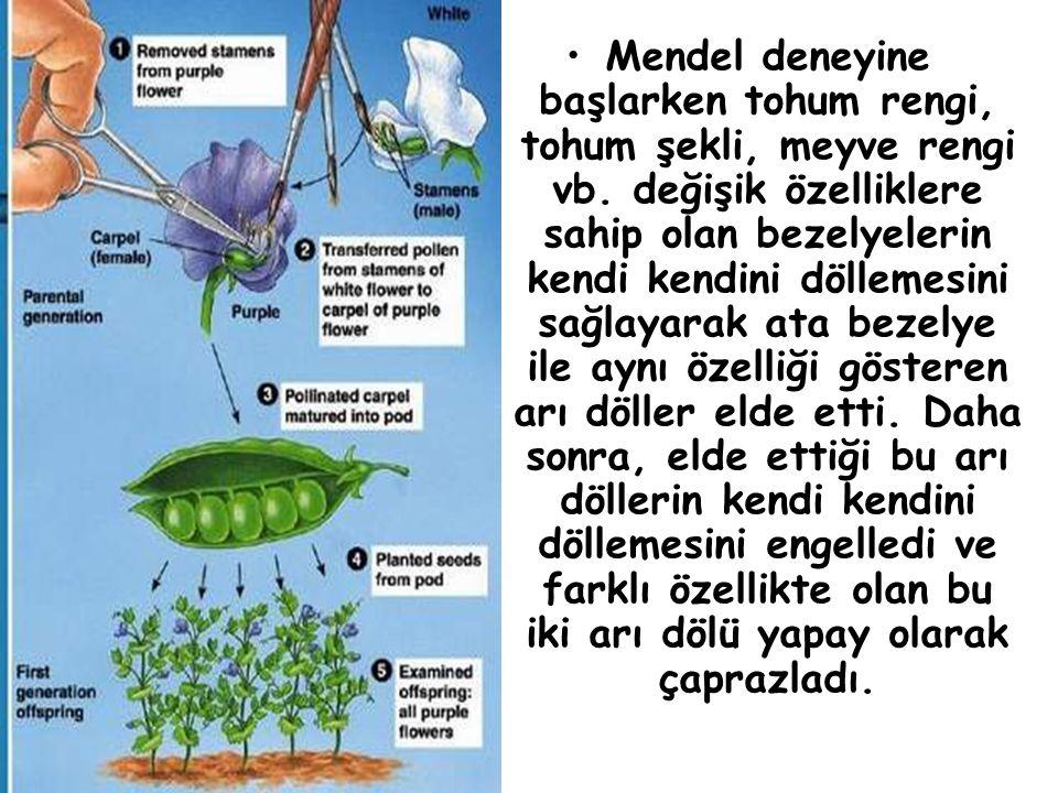 Mendel deneyine başlarken tohum rengi, tohum şekli, meyve rengi vb. değişik özelliklere sahip olan bezelyelerin kendi kendini döllemesini sağlayarak a