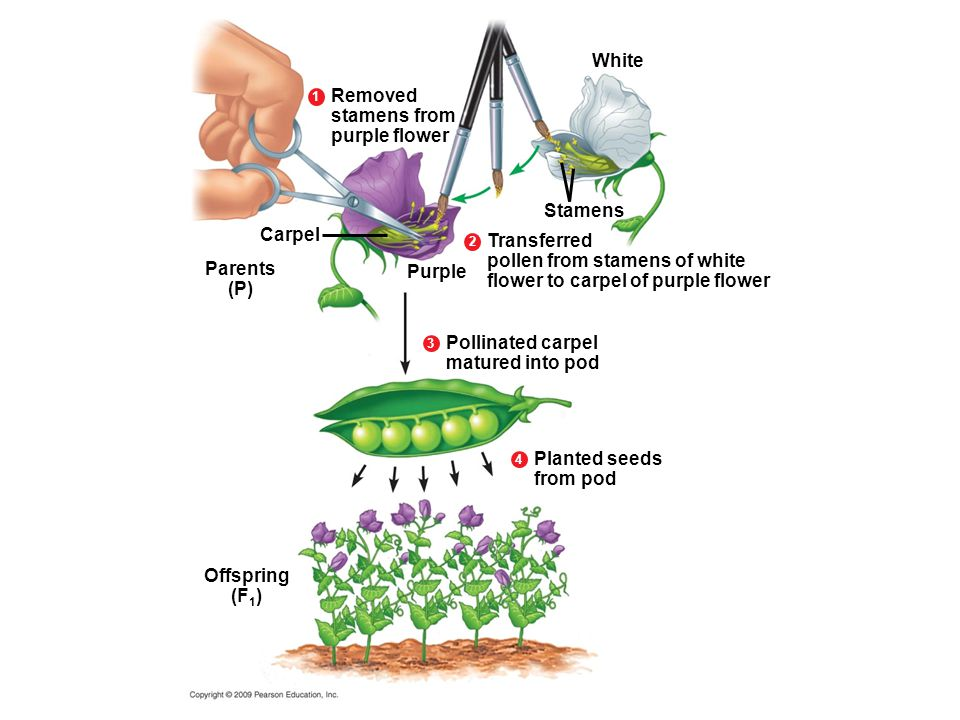 Transferred pollen from stamens of white flower to carpel of purple flower Stamens Carpel Parents (P) Purple 2 White Removed stamens from purple flowe