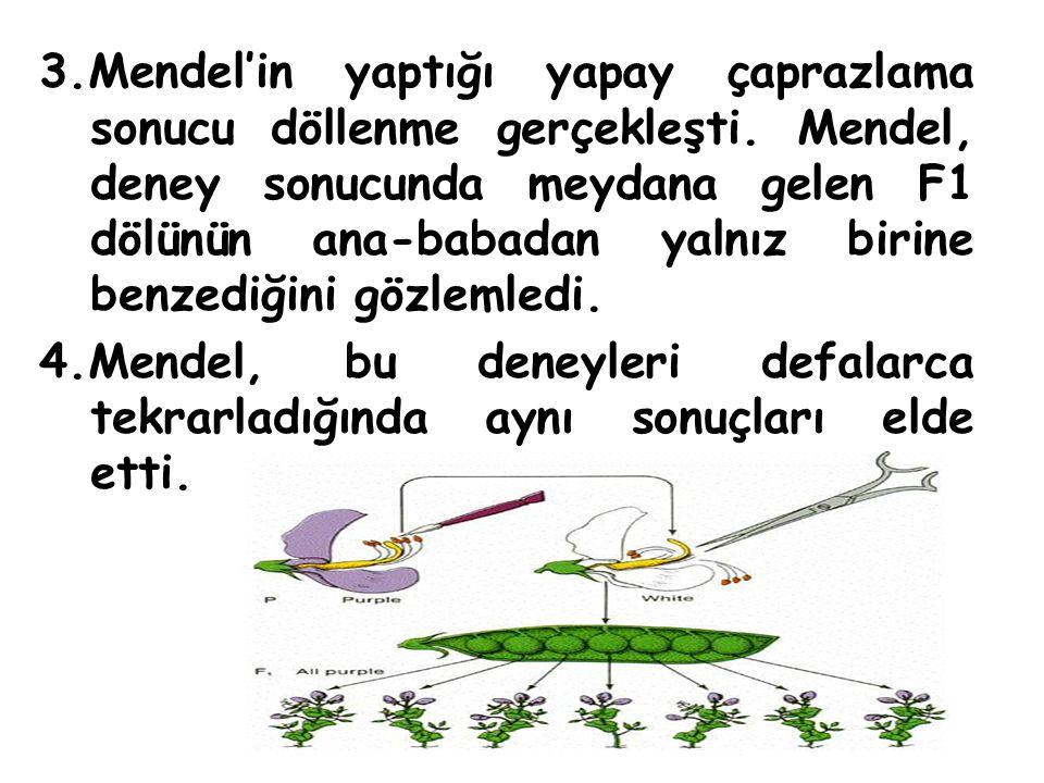 3.Mendel'in yaptığı yapay çaprazlama sonucu döllenme gerçekleşti. Mendel, deney sonucunda meydana gelen F1 dölünün ana-babadan yalnız birine benzediği
