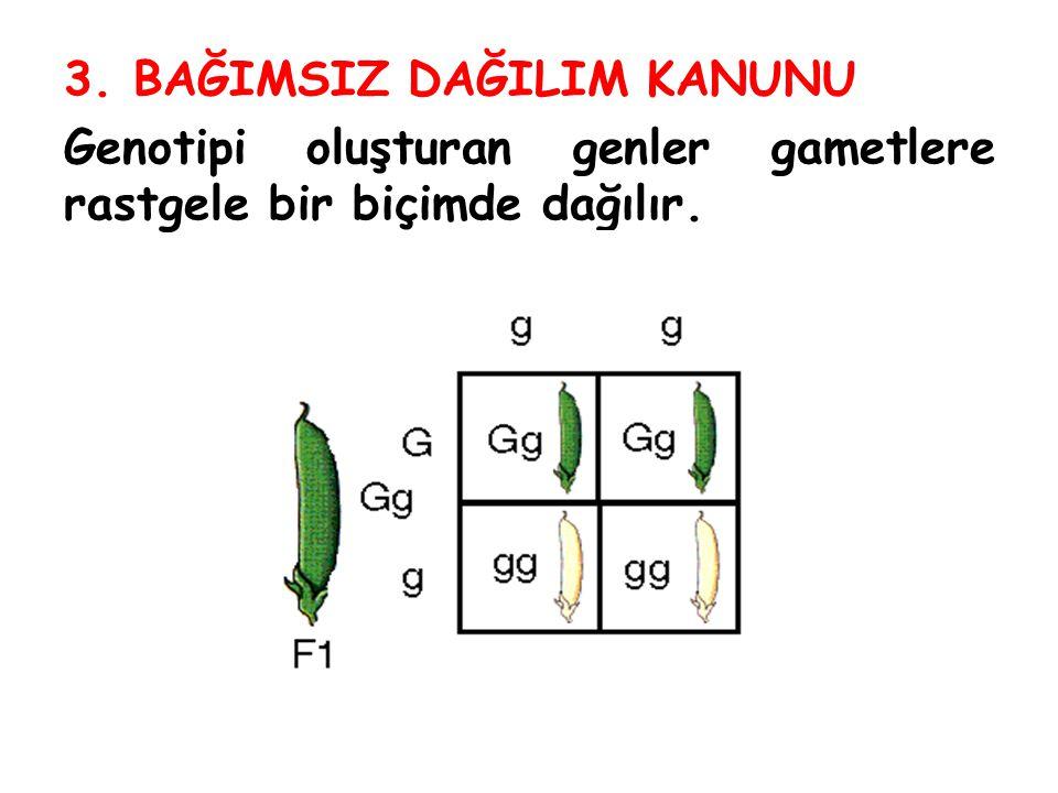 3. BAĞIMSIZ DAĞILIM KANUNU Genotipi oluşturan genler gametlere rastgele bir biçimde dağılır.