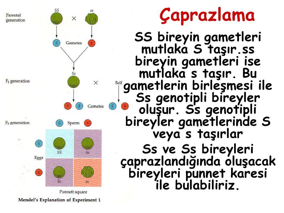 Çaprazlama SS bireyin gametleri mutlaka S taşır.ss bireyin gametleri ise mutlaka s taşır. Bu gametlerin birleşmesi ile Ss genotipli bireyler oluşur. S