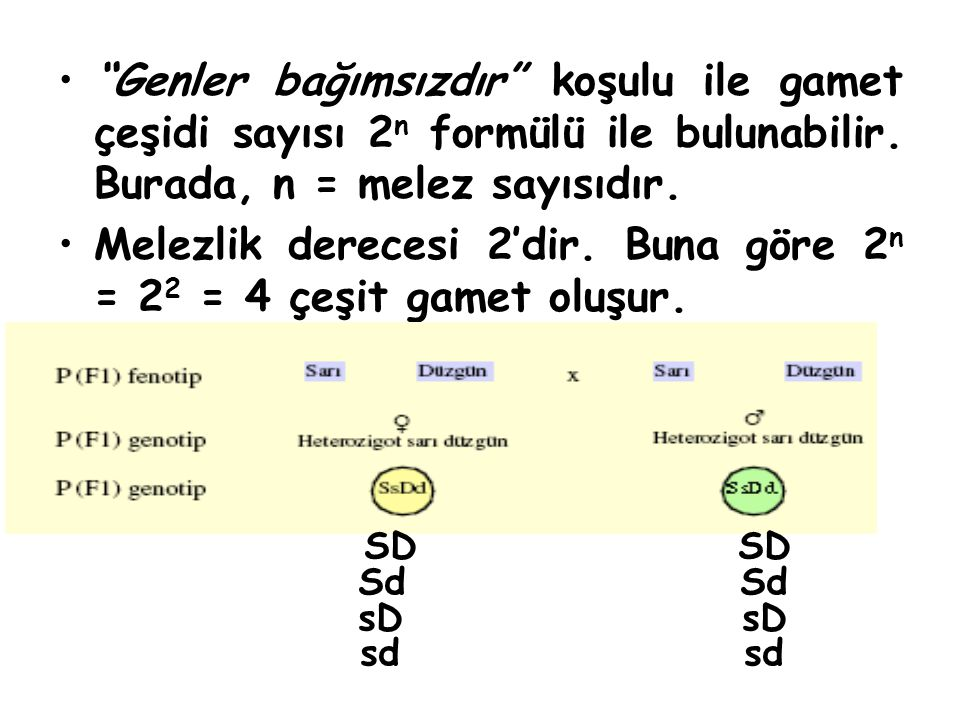 """""""Genler bağımsızdır"""" koşulu ile gamet çeşidi sayısı 2 n formülü ile bulunabilir. Burada, n = melez sayısıdır. Melezlik derecesi 2'dir. Buna göre 2 n ="""