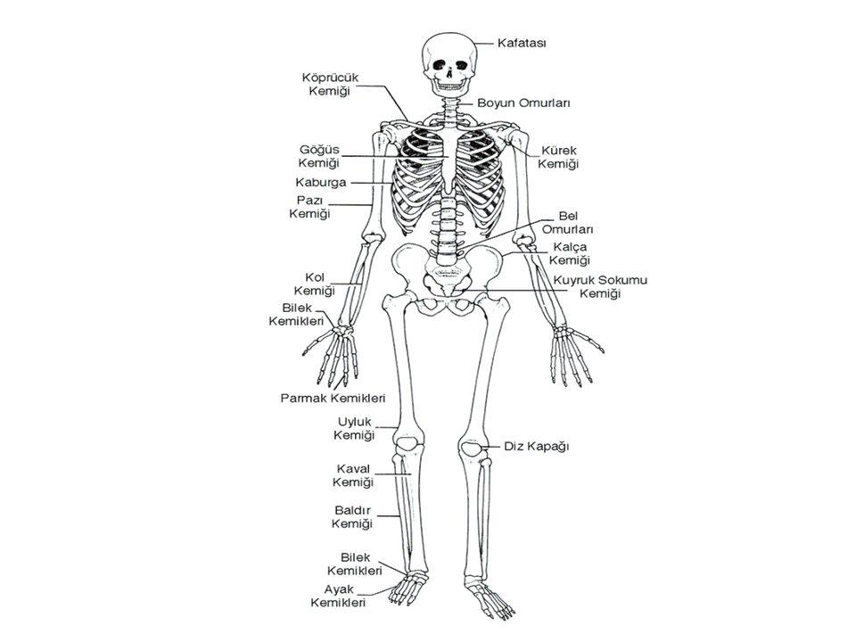 Kemik Çeşitleri 1.Uzun kemikler Boyu eninden uzun olan kemiklerdir.