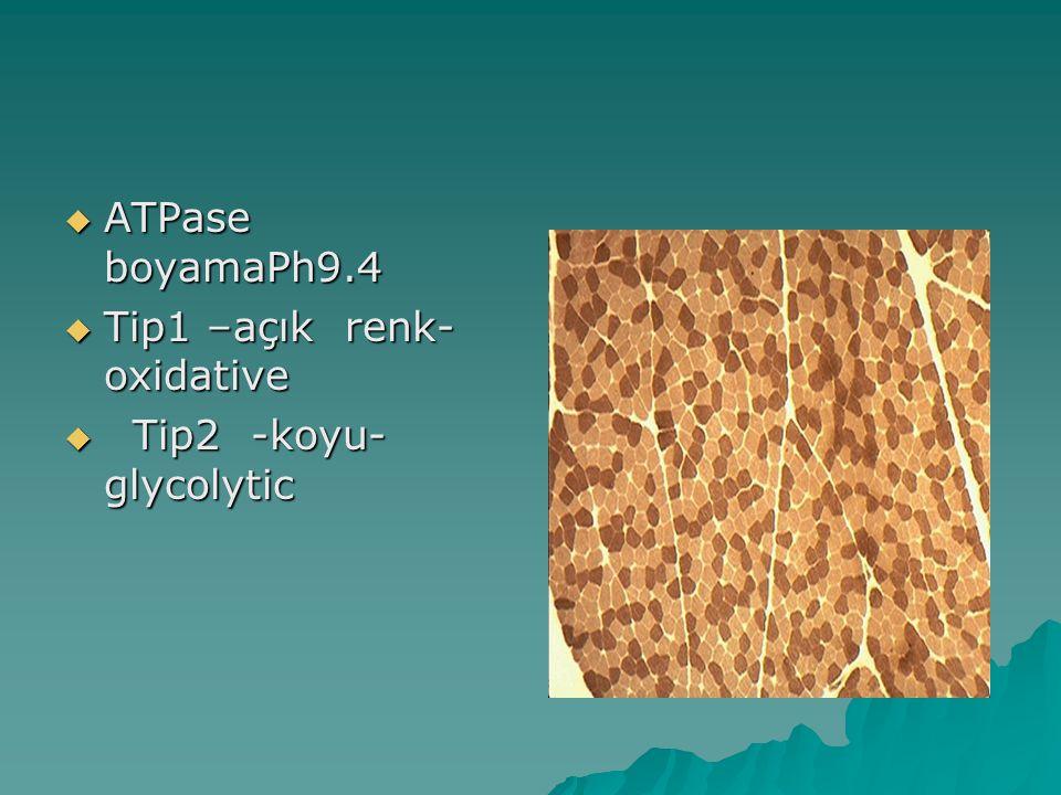  ATPase boyamaPh9.4  Tip1 –açık renk- oxidative  Tip2 -koyu- glycolytic