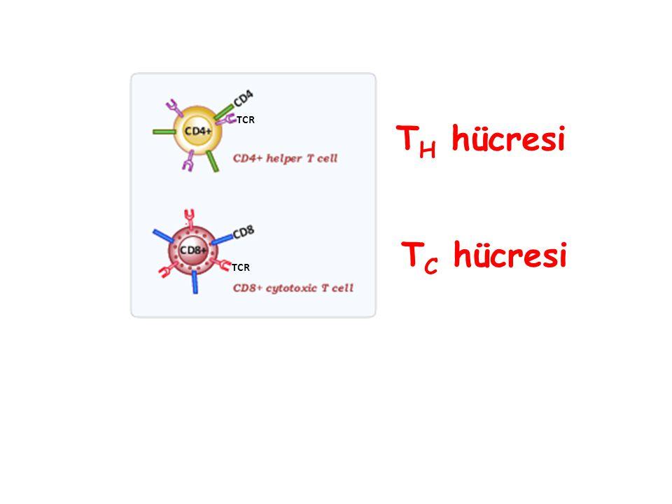 T C hücresi T H hücresi TCR