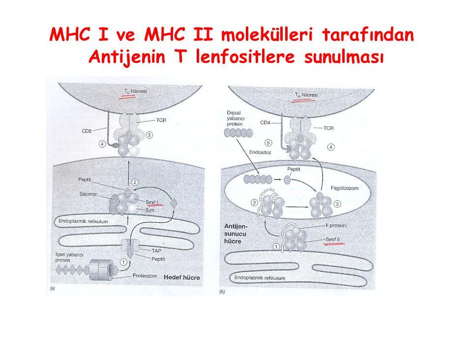 MHC I ve MHC II molekülleri tarafından Antijenin T lenfositlere sunulması