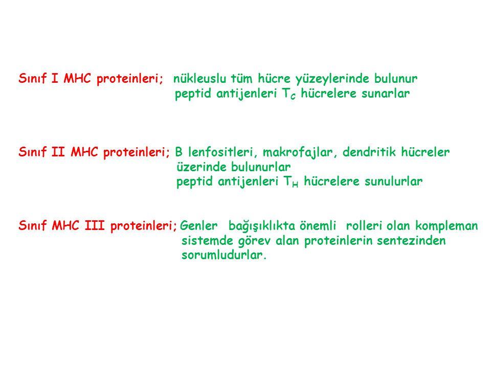 Sınıf I MHC proteinleri; nükleuslu tüm hücre yüzeylerinde bulunur peptid antijenleri T C hücrelere sunarlar Sınıf II MHC proteinleri; B lenfositleri,