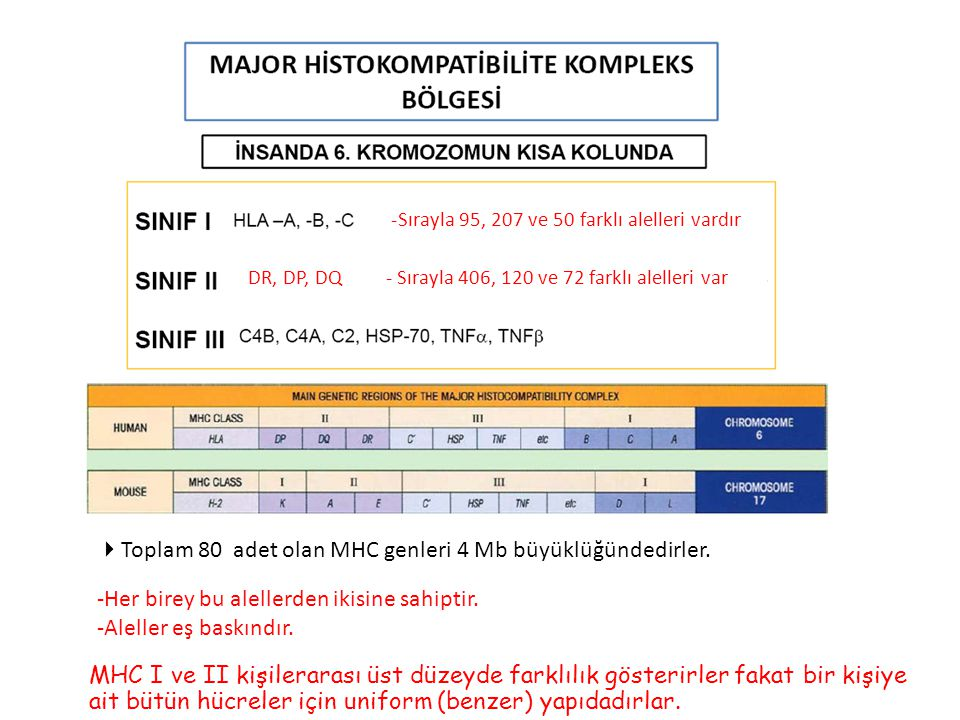 -Sırayla 95, 207 ve 50 farklı alelleri vardır DR, DP, DQ - Sırayla 406, 120 ve 72 farklı alelleri var -Her birey bu alellerden ikisine sahiptir. -Alel