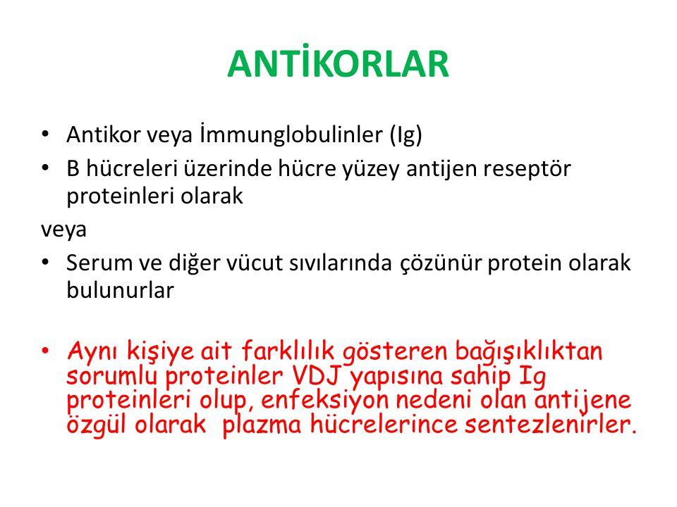 ANTİKORLAR Antikor veya İmmunglobulinler (Ig) B hücreleri üzerinde hücre yüzey antijen reseptör proteinleri olarak veya Serum ve diğer vücut sıvıların
