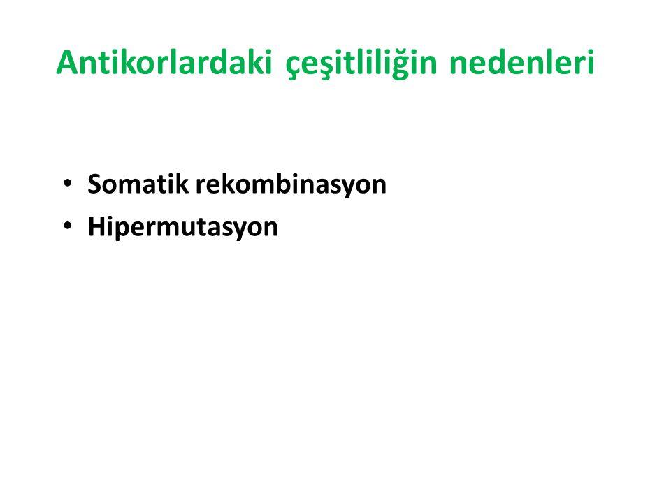 Antikorlardaki çeşitliliğin nedenleri Somatik rekombinasyon Hipermutasyon