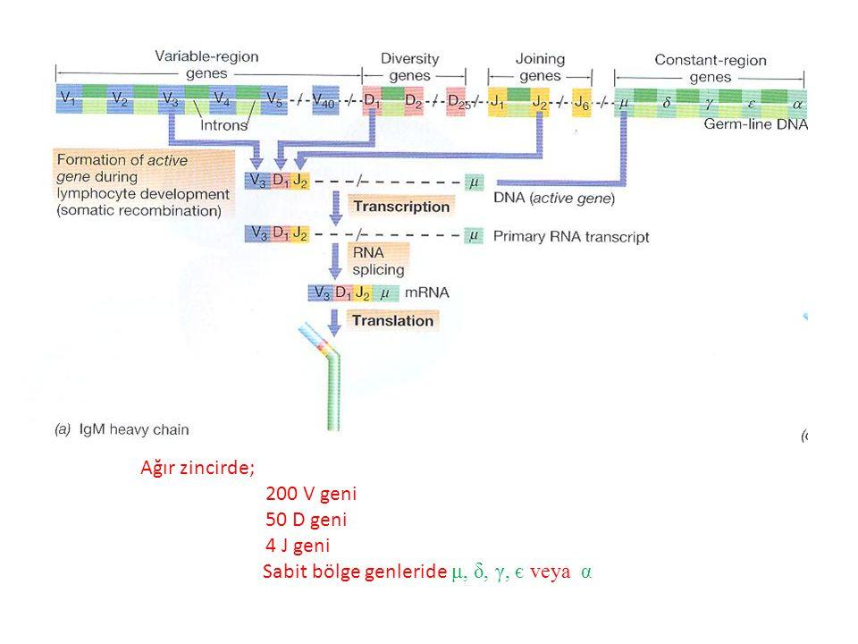 Ağır zincirde; 200 V geni 50 D geni 4 J geni Sabit bölge genleride μ, δ, γ, є veya α