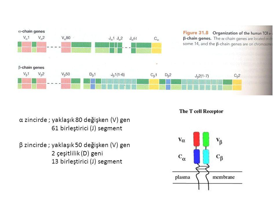 α zincirde ; yaklaşık 80 değişken (V) gen 61 birleştirici (J) segment β zincirde ; yaklaşık 50 değişken (V) gen 2 çeşitlilik (D) geni 13 birleştirici