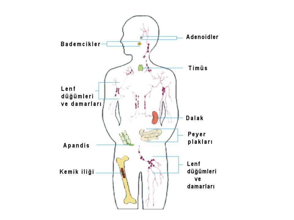 Birincil lenfoid organlarda lenfositlerin üretimi işi yapılırken, İkincil lenfoid organlarda lenfositler antijenlerle yüzleşirler.