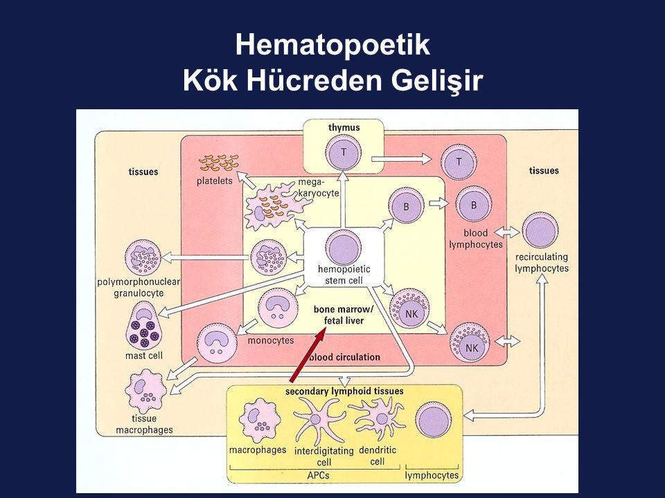 İmmün Cevap Abbas, 2003 Özgül Özgül değil Antijen Sunucu Hücre Humoral Hücresel