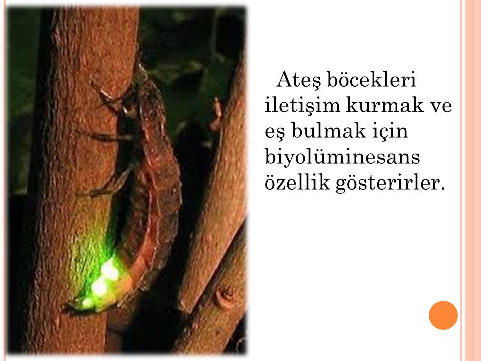 Ateş böcekleri iletişim kurmak ve eş bulmak için biyolüminesans özellik gösterirler.