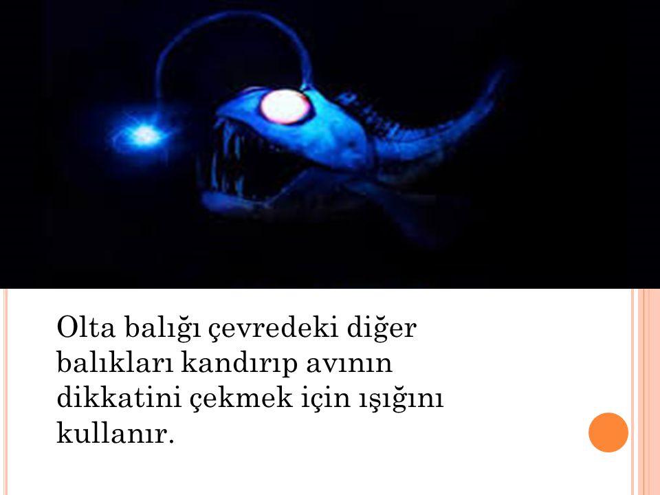 Olta balığı çevredeki diğer balıkları kandırıp avının dikkatini çekmek için ışığını kullanır.