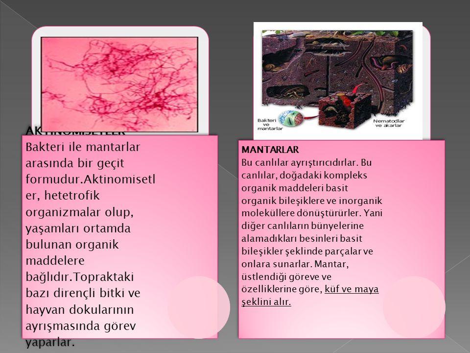 AKTİNOMİSETLER Bakteri ile mantarlar arasında bir geçit formudur.Aktinomisetl er, hetetrofik organizmalar olup, yaşamları ortamda bulunan organik madd