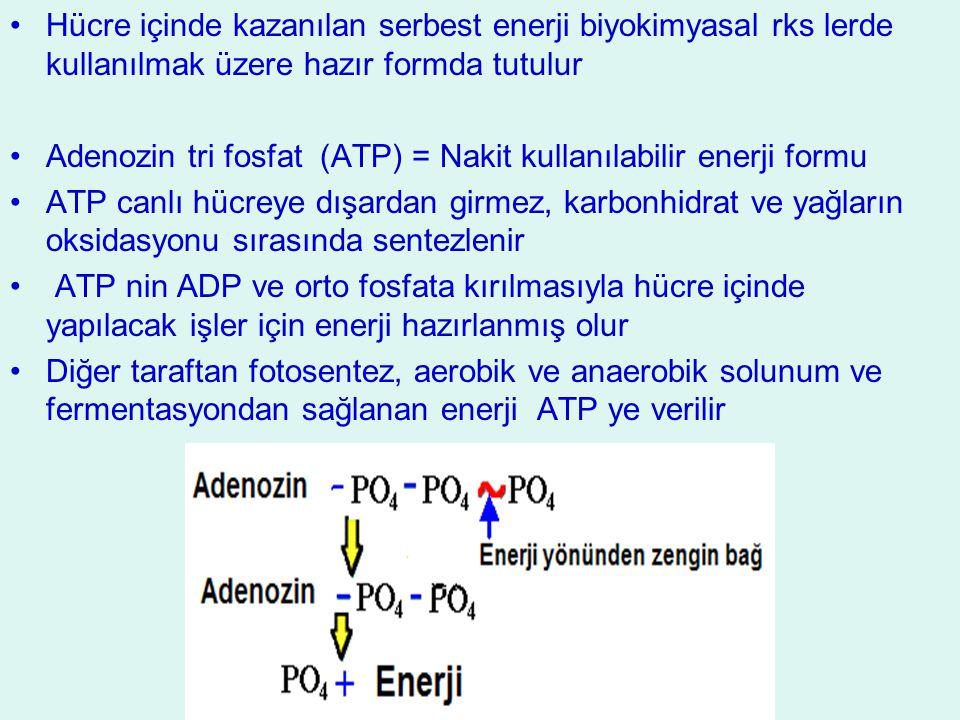 Hücre içinde kazanılan serbest enerji biyokimyasal rks lerde kullanılmak üzere hazır formda tutulur Adenozin tri fosfat (ATP) = Nakit kullanılabilir e