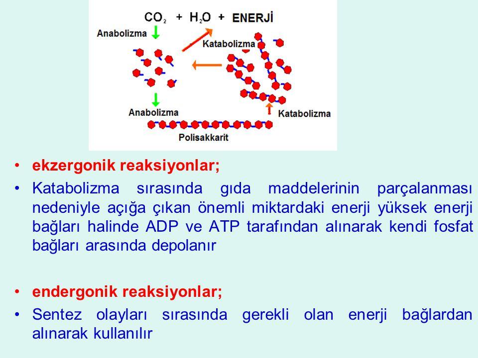 ekzergonik reaksiyonlar; Katabolizma sırasında gıda maddelerinin parçalanması nedeniyle açığa çıkan önemli miktardaki enerji yüksek enerji bağları hal