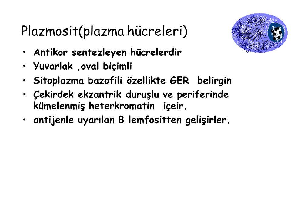 Plazmosit(plazma hücreleri) Antikor sentezleyen hücrelerdir Yuvarlak,oval biçimli Sitoplazma bazofili özellikte GER belirgin Çekirdek ekzantrik duruşl
