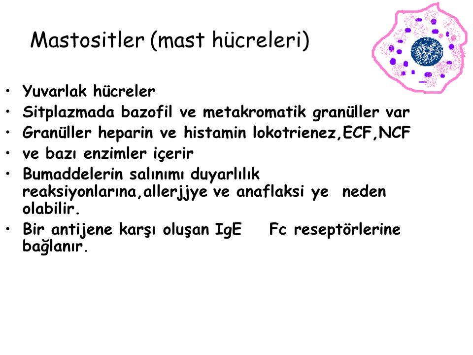 Mastositler (mast hücreleri) Yuvarlak hücreler Sitplazmada bazofil ve metakromatik granüller var Granüller heparin ve histamin lokotrienez,ECF,NCF ve