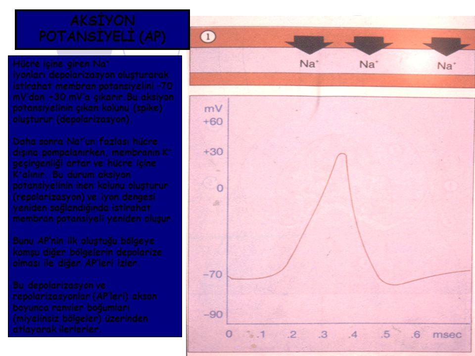 AKSİYON POTANSİYELİ (AP) Hücre içine giren Na + iyonları depolarizasyon oluşturarak istirahat membran potansiyelini –70 mV'dan +30 mV'a çıkarır.Bu aks