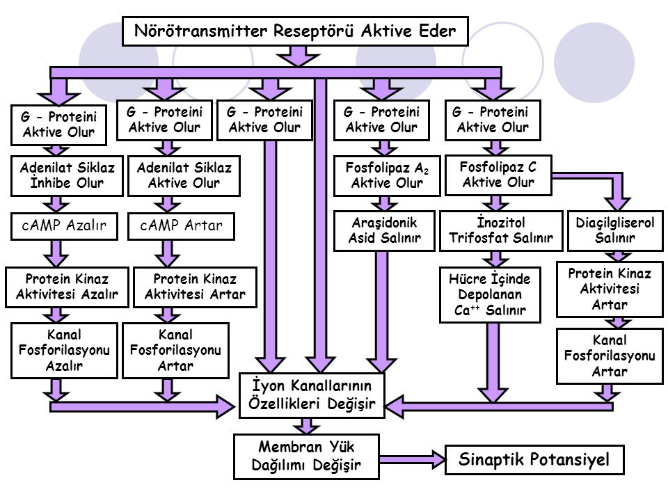 Nörötransmitter Reseptörü Aktive Eder G - Proteini Aktive Olur G - Proteini Aktive Olur G - Proteini Aktive Olur G - Proteini Aktive Olur G - Proteini