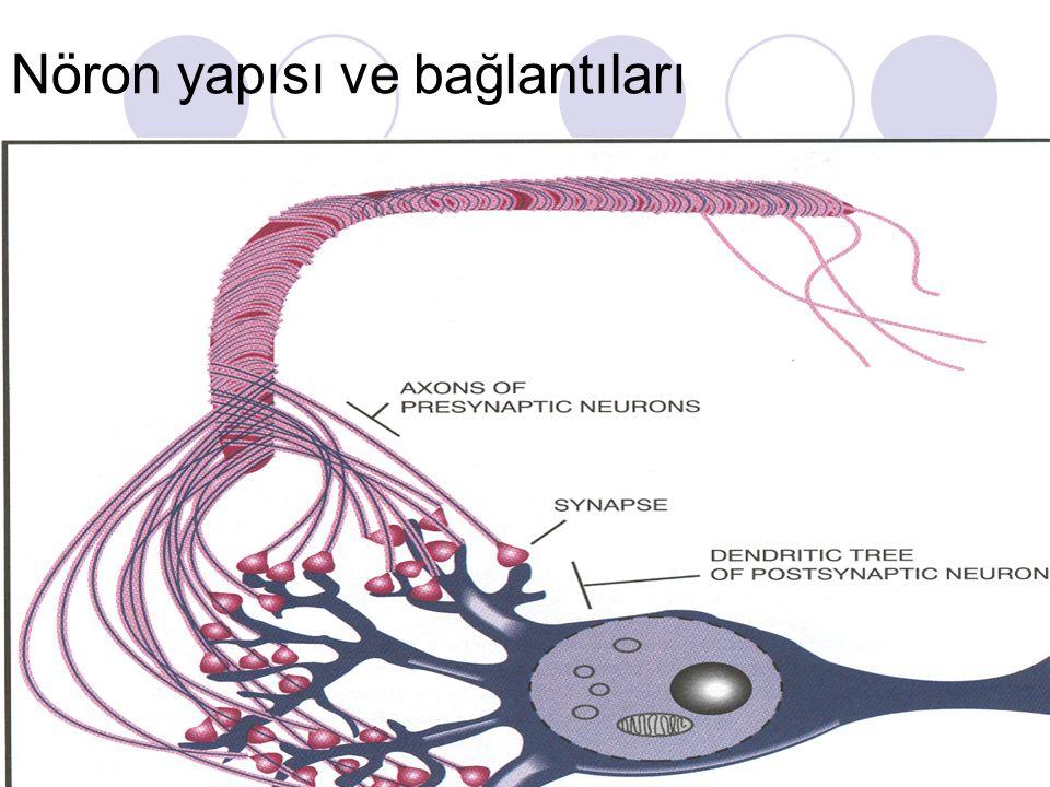 Nöron yapısı ve bağlantıları