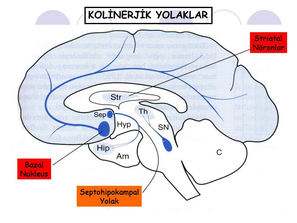 Striatal Nöronlar Bazal Nukleus Septohipokampal Yolak KOLİNERJİK YOLAKLAR